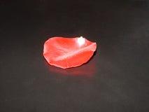 petalo rosa Fotografia Stock