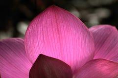 Petalo rosa del fiore di loto Fotografia Stock Libera da Diritti