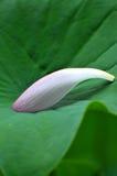 Petalo rosa del fiore di loto Fotografia Stock
