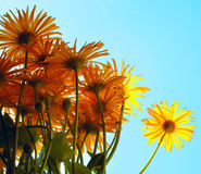 Petals 2. Bright yellow daisies in the sky Stock Photos