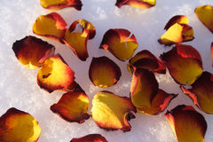 Petals. Of rose on snow royalty free stock photos