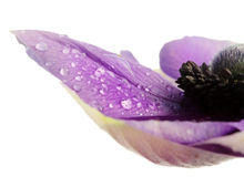 Petals of anemone flower with dew Stock Photography