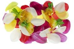 Petals of annual garden  dahlia Stock Image