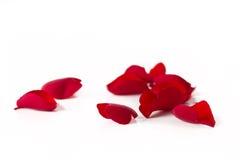 Petals av en ro Royaltyfria Foton