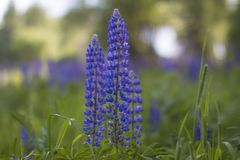 The petals of a blooming lupine stock image