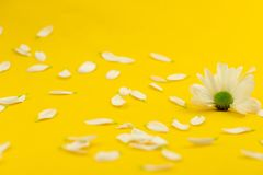 Petals of a camomile on a yellow background stock photography