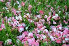 Petals carpet. Grass and Camellia petals carpet Stock Image