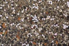 Petals of cherry blossom Stock Photos