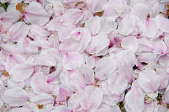 The petals of cherry blossoms. A pile of the petals of cherry blossoms Stock Photos