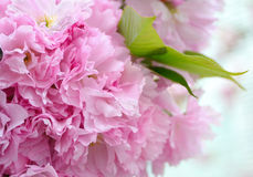 Petals of cherry blossoms Stock Image