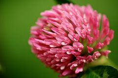 Petals of clover at green background. Clover at green background at fields Royalty Free Stock Photo