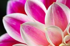 Petals dahlia royalty free stock photo