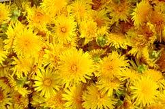 The petals of dandelions Stock Image