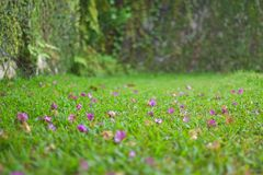 Petals drop on grass. Petals dropped on green grass in summer stock images