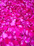 Edible rose petal Royalty Free Stock Images