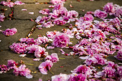 Petals. Falling on the ground , people feel sad Stock Photography