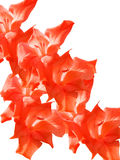 Petals of a flower of a gladiolus Stock Photography