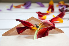 The petals of flowers are poured from the envelope on wooden table. The petals of tulips are poured from the envelope on wooden table Royalty Free Stock Photos