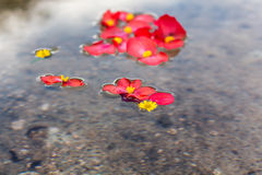 Petals and flowers in water. Details of petals and flowers on a water surface Stock Image