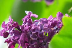 A branch of fragrant lilac. Petals of fragrant lilac in the summer from the window of my room Stock Photography