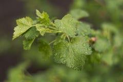 The petals of a gooseberry. Stock Photos