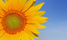 Petals of a large sunflower Royalty Free Stock Images