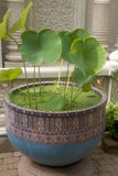 The petals of a Lotus in a pot on the street. Beautiful large pot in the antique style standing on the street in the Park. A pot full of water. It grows a rare Stock Photos