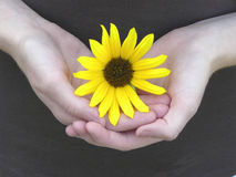 Petals of Love 02. Sunflower cuddled in girls hands Stock Photo