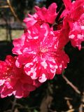Petals. Macro photography of roses petals Stock Images