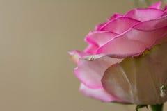 Petals Royalty Free Stock Image