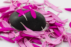 Petals of Magenta Gerbera on the black stone. On the white backgournd Royalty Free Stock Photo
