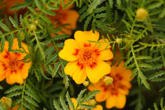 Petals mexican marigolds appear through leaves Royalty Free Stock Images