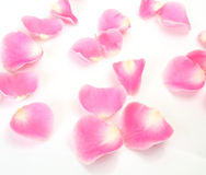 Petals Of A Pink Rose Royalty Free Stock Photography