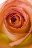 Petals of orange rose Stock Image