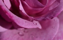 Petals of pale pink tea rose. Petals velvet of pale pink tea rose covered with large raindrops close up stock photos