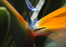 Petals of paradise. Bird of paradise flower Royalty Free Stock Photo
