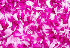 Petals of peonies in a large number, (the background image). Royalty Free Stock Image