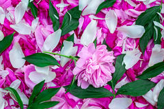 Petals of peonies in a large number, flowers and leaves of peoni Royalty Free Stock Photography