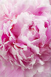 Petals of peony flower Royalty Free Stock Photography