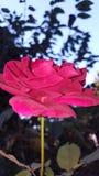 Petals stock photo