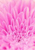 Petals of a pink flower. Background from petals of a pink flower Royalty Free Stock Images