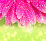 Petals pink gerbers Royalty Free Stock Photography