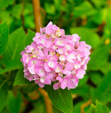 Petals of  pink Hydrangea flowers in garden Stock Photo