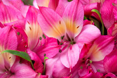 Petals of pink lily Stock Photography