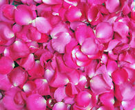 Petals of pink rose Stock Photos