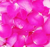 Petals of pink roses,background Stock Image