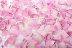 Petals of pink roses over white Royalty Free Stock Photo