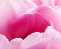 Petals of pink tulips Royalty Free Stock Photo
