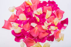 Petals of Pink and Yellow Roses Flowers. Royalty Free Stock Photo