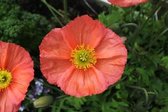 The petals and pistil centre of peach pink poppy stock images